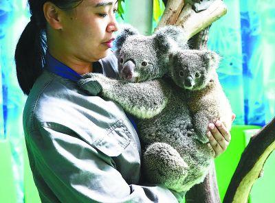 南京红山动物园考拉生宝宝 小考拉外号叫哪吒