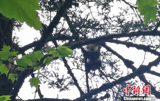 四川卧龙:科考队员遇顽皮野生熊猫宝宝爬树