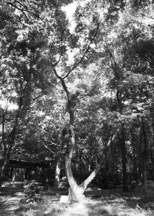 """魏璎珞""""挠痒痒""""的神树南京紫金山上有很多"""