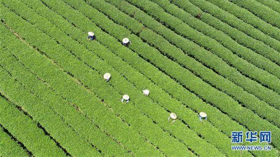 广西茶乡采秋茶