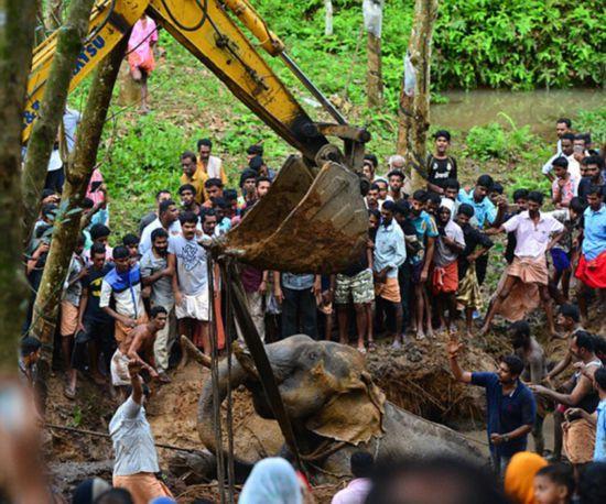 印大象欲喝水陷入泥坑被两台挖掘机救出