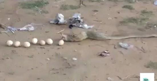 贪多嚼不烂!眼镜蛇偷食9颗鸡蛋后反吐出来(图)