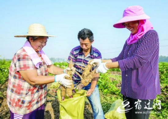 宿迁泗洪:白芷喜丰收 种植基地一片繁忙