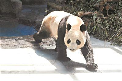 """记者昨日从东莞香市动物园获悉,国宝大熊猫""""双儿""""今日迎来12岁生日,而"""