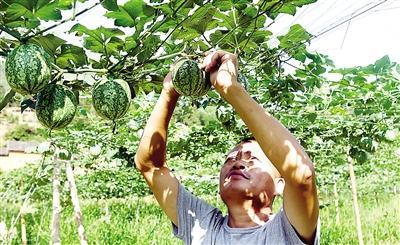 武夷山市上梅乡:村民给吊瓜子修剪去枝