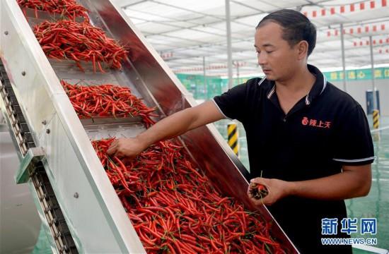 (社会)(3)陕西洛南:小辣椒铺就脱贫路