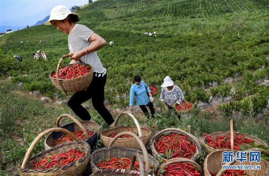 (社会)(2)陕西洛南:小辣椒铺就脱贫路