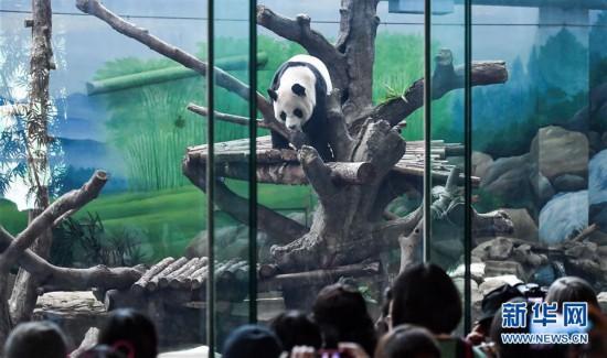 """(社会)(2)大陆赠台大熊猫""""团团""""""""圆圆""""欢度14岁生日"""