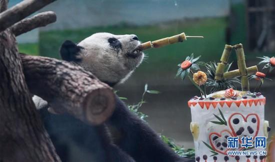 """(社会)(3)大陆赠台大熊猫""""团团""""""""圆圆""""欢度14岁生日"""