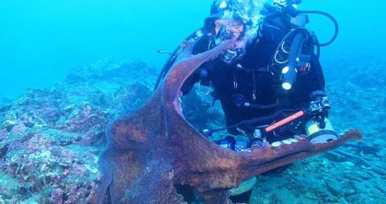 俄潜水员海底偶遇大章鱼 死抓摄像机不罢手