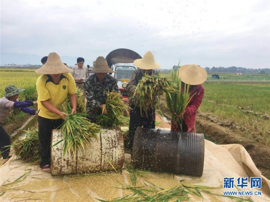 """(图文互动)(1)""""超级杂交水稻""""个旧百亩示范片平均亩产创新高"""