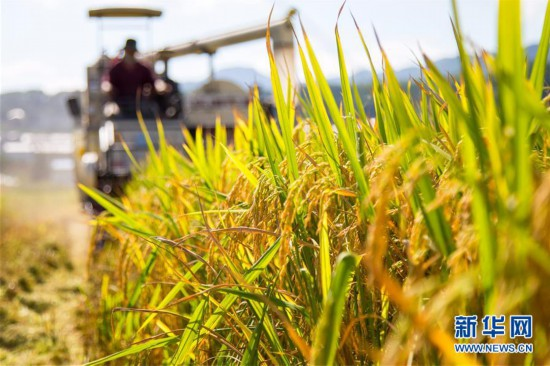 #(经济)(1)湖北保康:水稻开镰收割