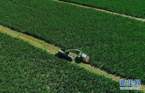 (经济)(1)滦南县农民收获青贮玉米