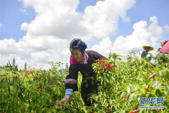 #(经济)(1)贵州从江:朝天椒助增收