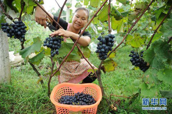 (经济)(1)贵州黔西葡萄喜秋收