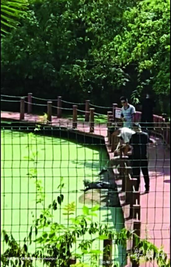 男游客连踹扬子鳄 旁边就是禁止触碰鳄鱼警示牌