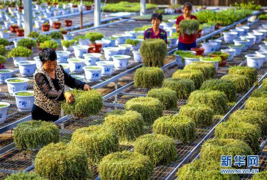 (经济)(1)河北饶阳:盆栽植物俏京津