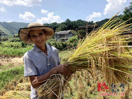 水稻豐收,村民喜笑顏開