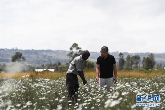 (国际・中非合作论坛)(1)中国技术让肯尼亚除虫菊种植者受益颇多