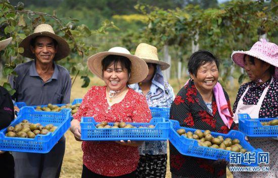 """(经济)(1)安徽:""""猕猴桃经济""""富农家"""