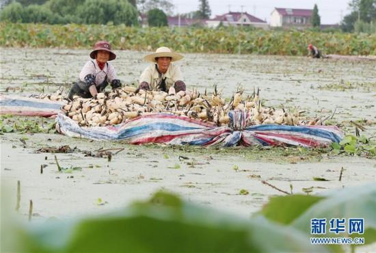 #(經濟)(1)江蘇海安:千畝淺水藕喜獲豐收