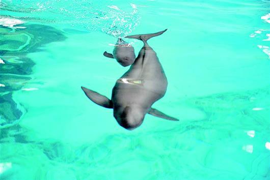 世界第二例人工饲养繁殖的江豚成活 武汉小江豚庆生100天