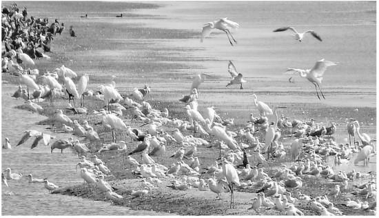 """候鸟""""聚会""""胡杨河湿地公园"""