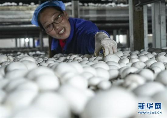 江苏灌南食用菌产业发展快速