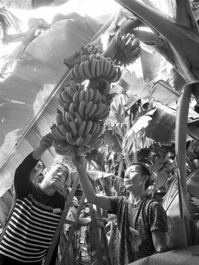 张培冬:让极寒之地长出热带香蕉