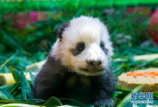 """(社会)(2)广州:熊猫宝宝""""隆仔""""与游客见面"""