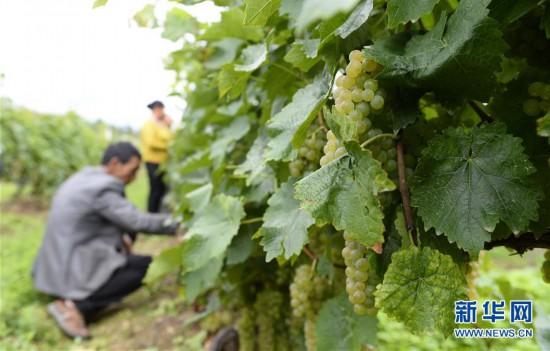 (经济)(1)云南维西:冰葡萄种植助力脱贫