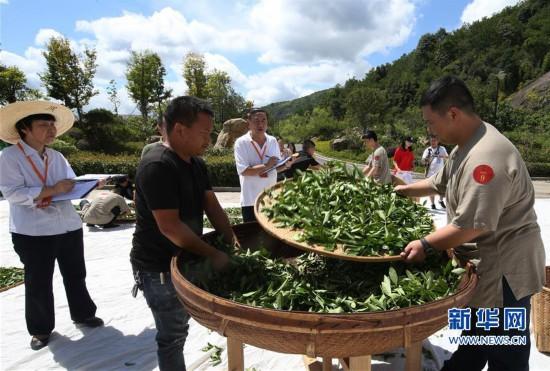 武夷山举办武夷岩茶传统技艺制茶大赛