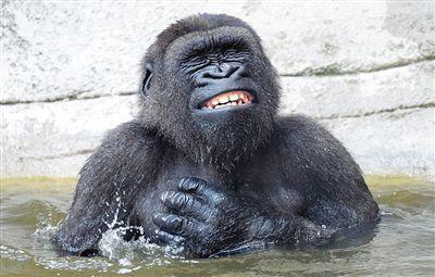 开心沐浴 大猩猩泡澡对抗高温