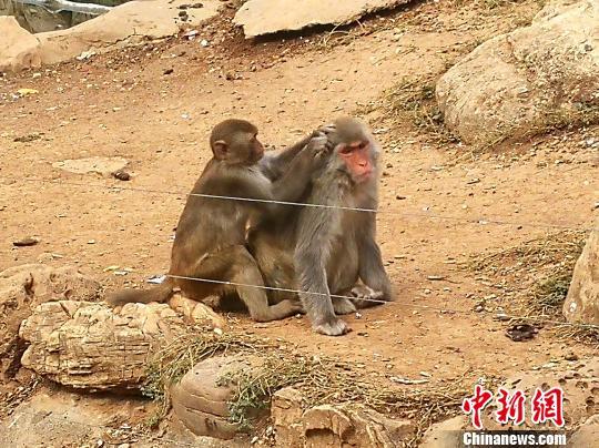 """确保动物""""人丁""""兴旺 石家庄动物园跨城为大龄女黑猩猩"""