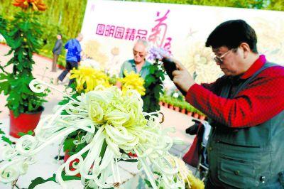 圆明园金秋游精品菊展 70余珍贵品种亮相