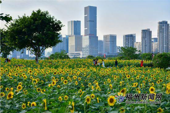 迎国庆!花海公园向日葵盛放 风车长廊引游人
