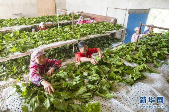 10月3日,江苏南通海安市大公镇永敬蚕业农场的蚕农在给晚秋蚕喂桑叶