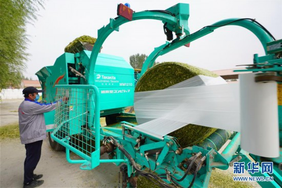 (经济)(1)河北唐山:订单青贮玉米助增收