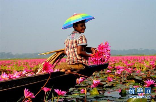 (XHDW)(1)孟加拉国:睡莲花开