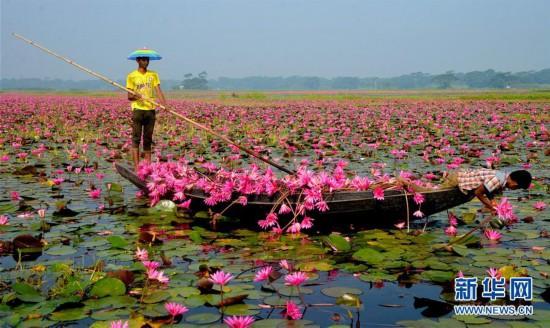 (XHDW)(2)孟加拉国:睡莲花开