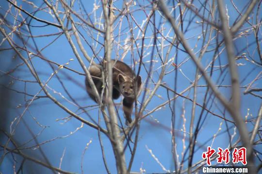 地区漠河市北极村发现一只珍稀野生动物——国家一级保护动物紫貂,20