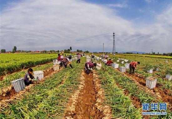 (社会)(1)生姜标准化种植丰产增收