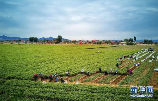 (社会)(4)生姜标准化种植丰产增收
