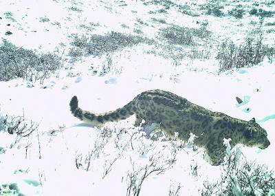 保護雪豹及其生態系統刻不容緩