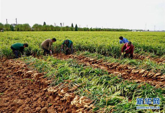 (社会)(2)生姜标准化种植丰产增收