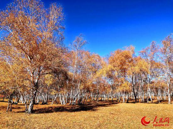 西乌旗白桦林:一叶知秋,让草原的秋天更加绚丽多彩(高清)