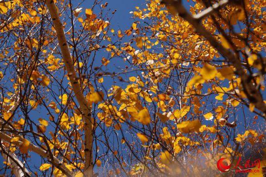 西乌旗白桦林:一叶知秋,让草原的秋天更加绚丽多彩(高清)【6】