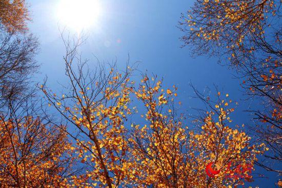 西乌旗白桦林:一叶知秋,让草原的秋天更加绚丽多彩(高清)【8】
