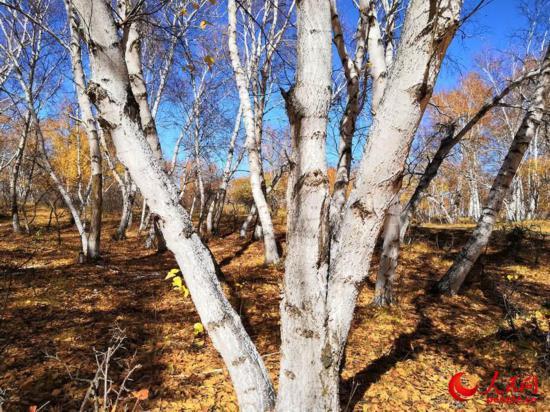 西乌旗白桦林:一叶知秋,让草原的秋天更加绚丽多彩(高清)【3】