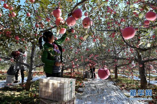 (丰收的味道)(1)山西吉县苹果飘香